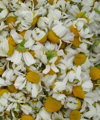 chamomile loose flowers