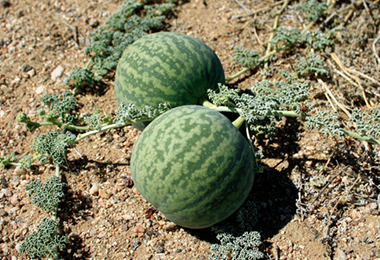 Benefits of Kalahari Melon Seed Oil